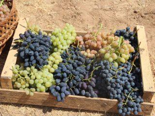 Виноград Восторг мускатный, черный, красный, белый: описание + фото