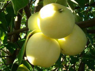 Яблоня Белый налив (Папировка)