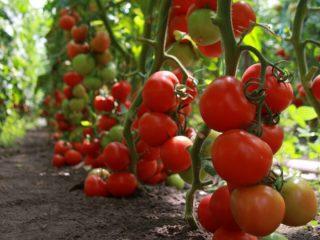 Томат Марьина роща: отзывы, фото, урожайность