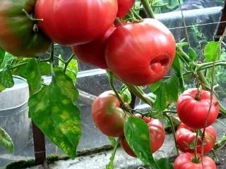 Томат Бабушкин секрет: отзывы, фото, урожайность