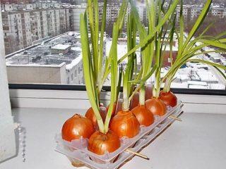 Как вырастить зеленый лук дома в воде