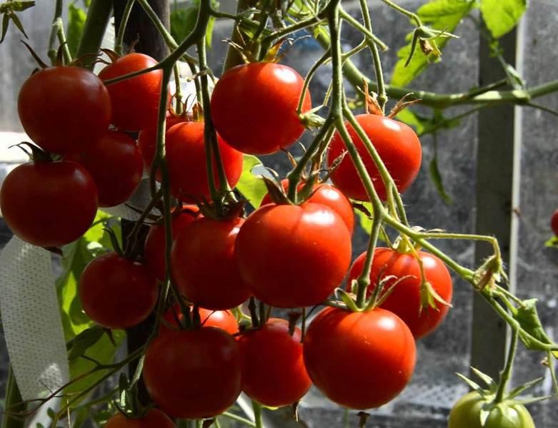 Томат дачный любимец описание и характеристика сорта отзывы огородников с фото