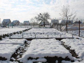 Как посадить лук под зиму на репку