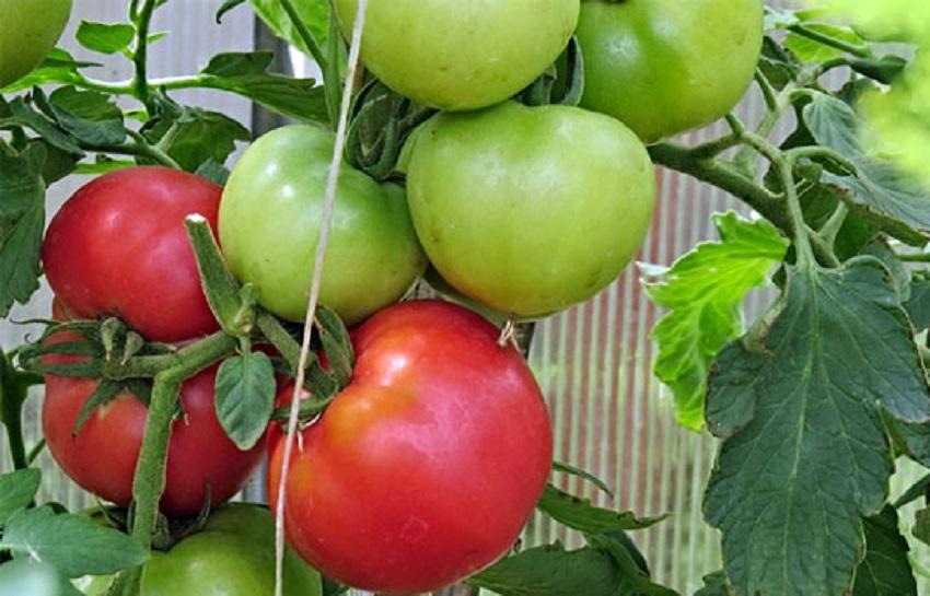 Выращивание томатов пинк парадайз 42