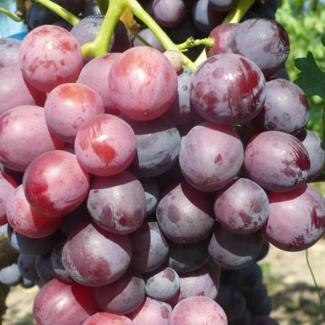 Лучшие столовые сорта винограда – Дачные дела