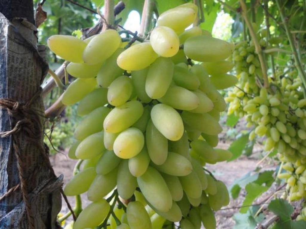 ситуация личной виноград тимур фото описание удар