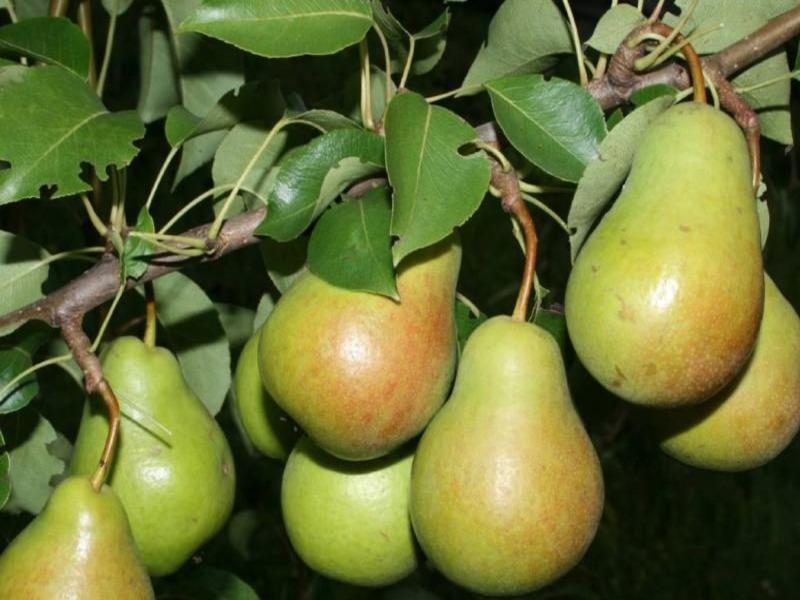 Описание сорта груши бергамот московский — Зеленый мир