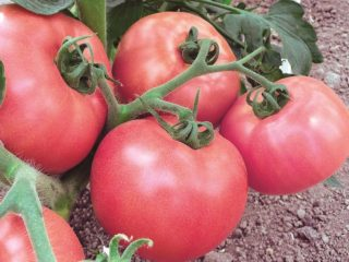 Сорт томатов Первоклашка