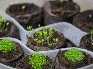 Как вырастить и пикировать рассаду лобелии в домашних условиях