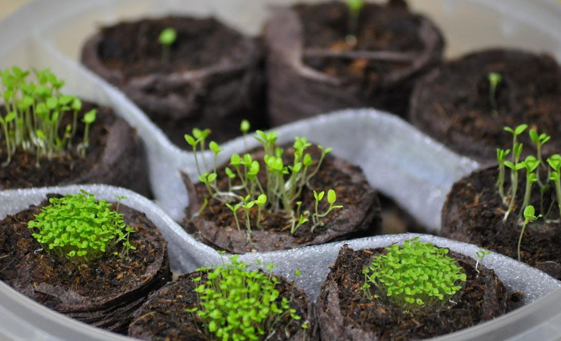 Лобелия посадка и уход фото когда сеять семена на рассаду