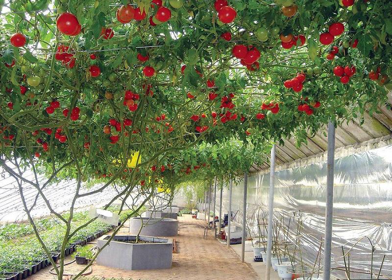 Томат Спрут сливка шоколадная F1: отзывы об урожайности помидоров, описание и характеристика сорта