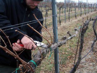 Весенняя обрезка винограда в пошаговом описании