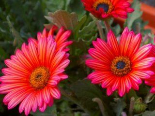 Арктотис: фото цветов, когда сажать на рассаду