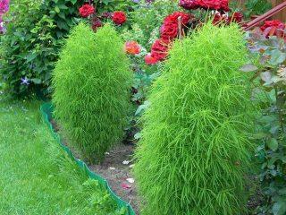 Кохия (летний кипарис): посадка семян, когда сажать на рассаду