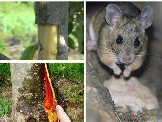Что делать, если кору яблони погрызли мыши
