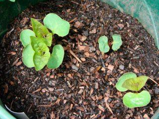 Мирабилис из семян в домашних условиях
