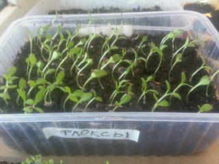 Однолетние флоксы — выращивание из семян