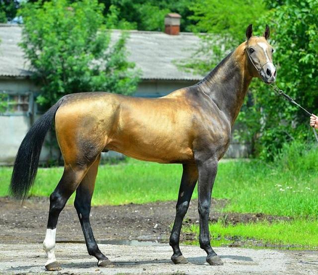 Древнейшая ахалтекинская порода лошадей