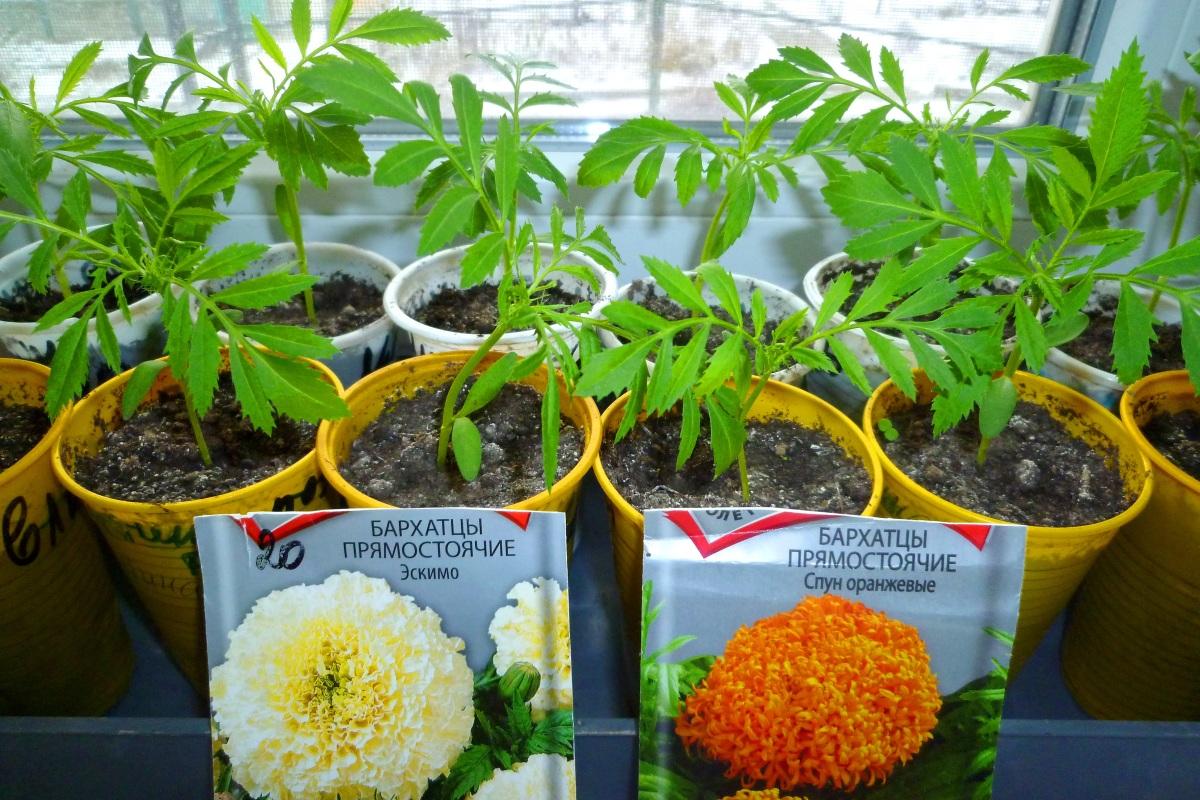Когда сажать на рассаду бархатцы и как сажать бархатцы семенами Выращивание простым методом