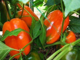Характеристика перца Оранжевое чудо