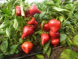 Перец Леся: описание, урожайность