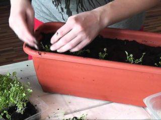 Выращивание из семян алиссума Снежный ковер