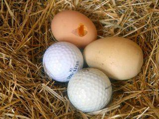 Что делать, если куры клюют яйца зимой