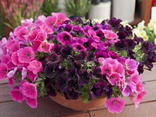 Цветы садовые однолетние: фото и названия