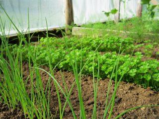 Как вырастить лук-батун из семян
