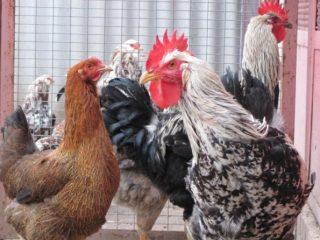 Юрловская порода кур