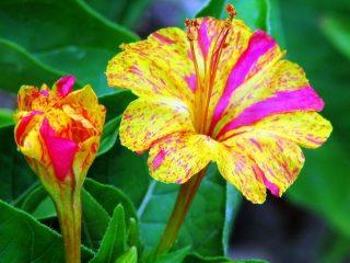 Цветы мирабилис Ночная красавица