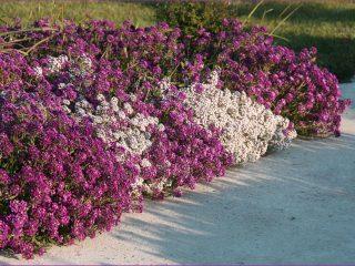 Бордюрные низкорослые однолетние цветы: фото и название