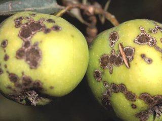 Как избавиться от парши на яблоне: чем обрабатывать, когда опрыскивать