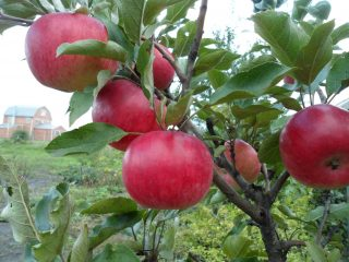 Летние сорта яблок с фото и описанием