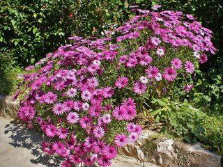 Неприхотливые однолетники, цветущие все лето: фото + названия