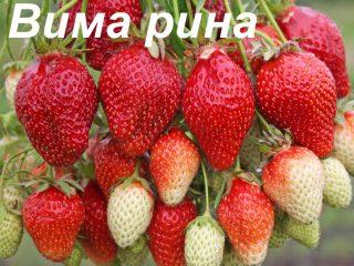 Клубника Вима Рина