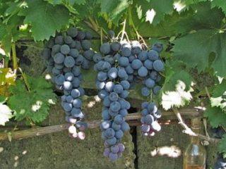 Страшенский сорт винограда