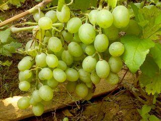 Сорт винограда Подарок Запорожья: фото и описание