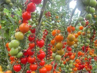 Томат Вишня красная: описание сорта, фото, отзывы