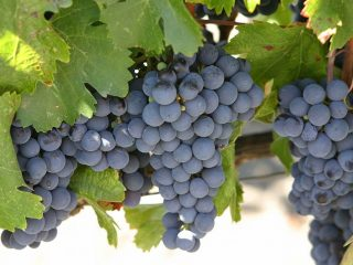 Сорт винограда Изабелла: посадка и уход