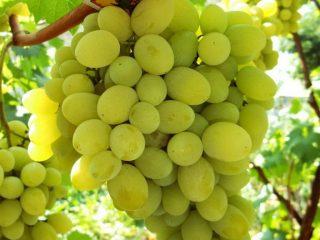 Виноград Плевен: мускатный, устойчивый, Августин