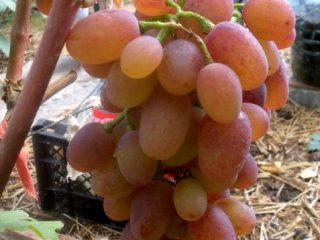 Сорт винограда Рута: фото и описание