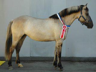 Вятская порода лошадей: характер, высота в холке