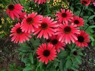 Когда сеять рудбекию, фото цветов