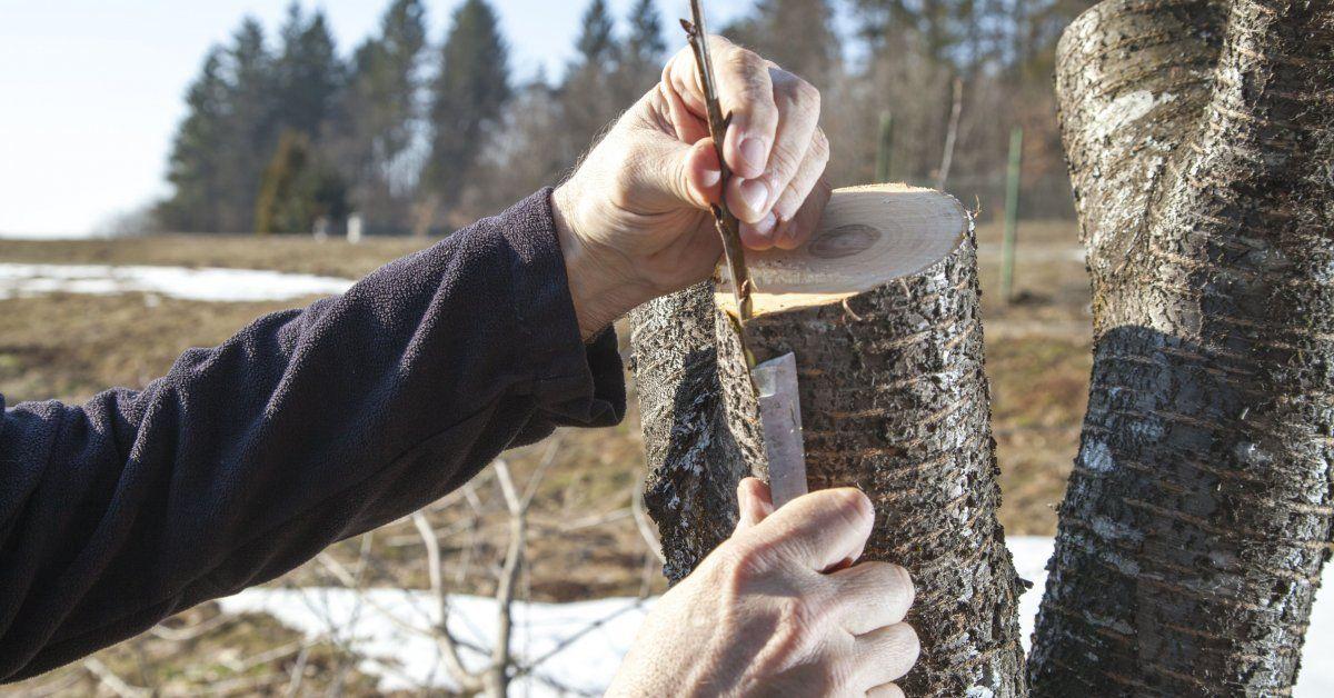 Прививка плодовых деревьев весной раскрываем все секреты
