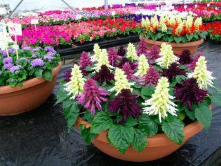 Сальвия блестящая: описание, фото цветов, посев, уход