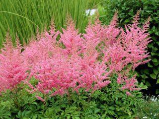 Астильба: фото цветов, когда сажать на рассаду