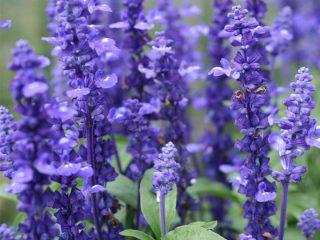 Сальвия многолетняя: описание, фото цветов, посев, уход