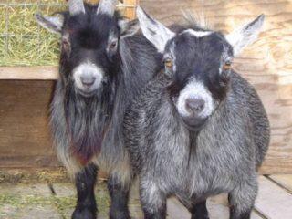 Камерунская коза