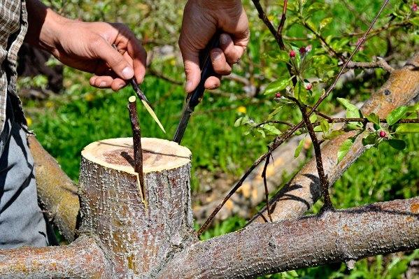Способы прививки садовых деревьев